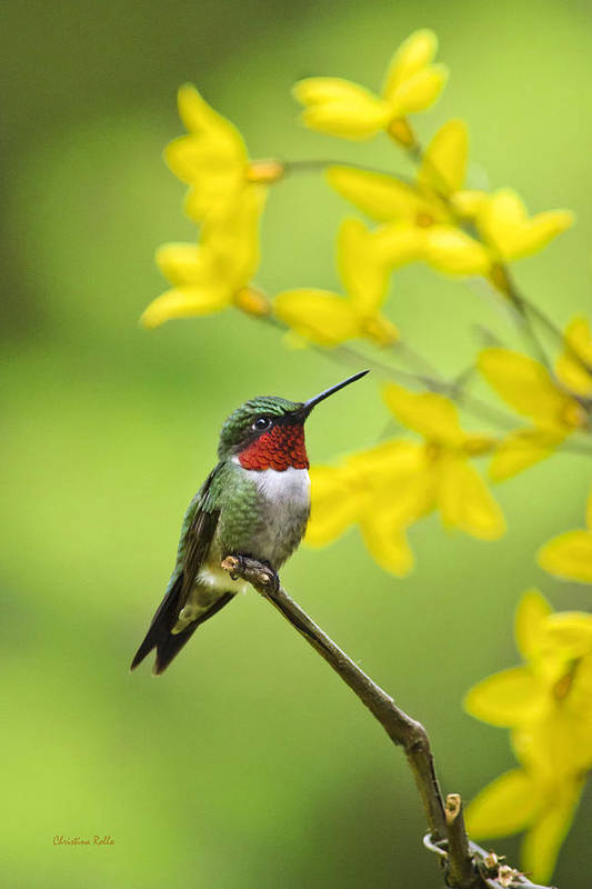 Hummingbird Art Print featuring the photograph Beautiful Summer Hummer by Christina Rollo