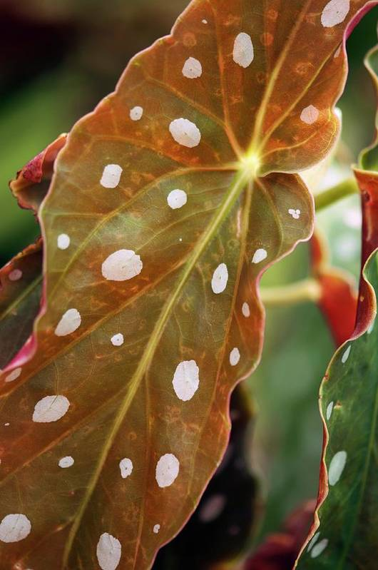 Begonia Art Print featuring the photograph Begonia Maculata 'wightii' by Maria Mosolova