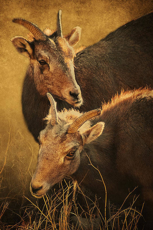 Bighorn Sheep Art Print featuring the photograph Bighorn Sheep Of The Arkansas River by Priscilla Burgers