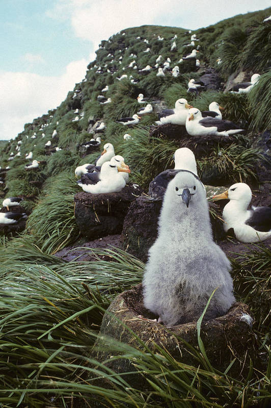 Daytime Art Print featuring the photograph Black-browed Albatross Chick Sitting On by Joel Bennett