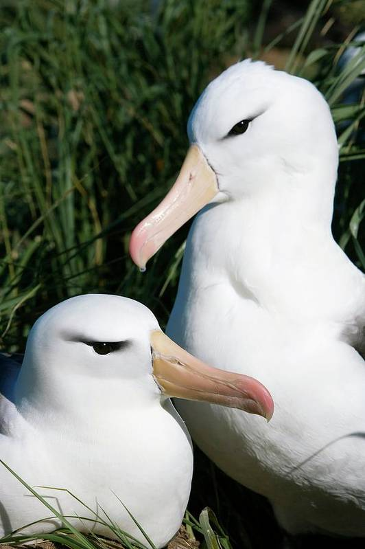 Black-browed Albatross Art Print featuring the photograph Black-browed Albatrosses by William Ervin/science Photo Library