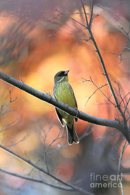 Art Print featuring the photograph Black-faced Bunting by Akihiro Asami