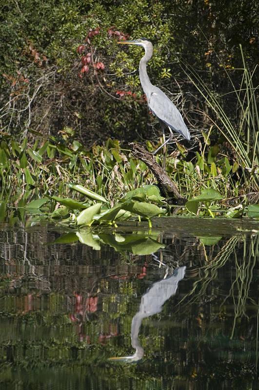 Heron Art Print featuring the photograph Blue Heron by Ama Arnesen