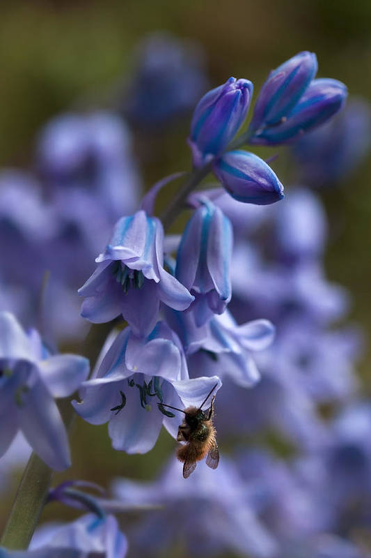 Bluebells Art Print featuring the photograph Bluebells by Shirley Mitchell