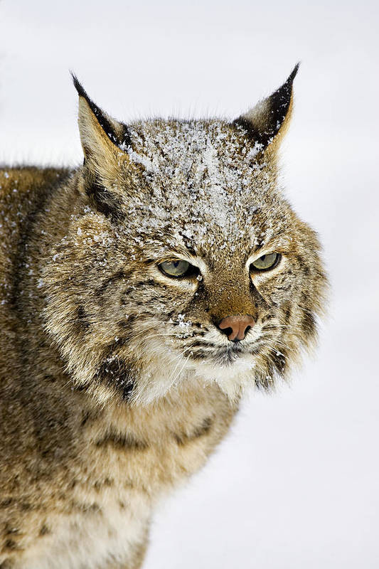 Bobcat Art Print featuring the photograph Bob by Jack Milchanowski