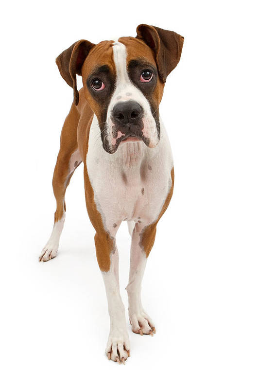 Dog Art Print featuring the photograph Boxer Dog Isolated On White by Susan Schmitz
