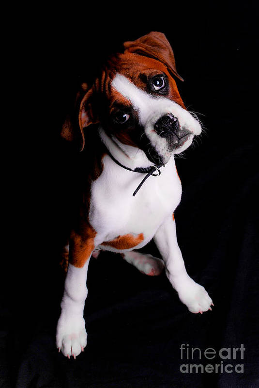 Boxer Art Print featuring the photograph Boxer Pup by Jt PhotoDesign