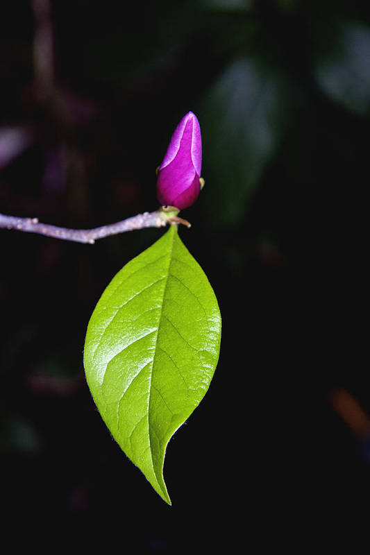 Tulip Tree Art Print featuring the photograph Budding Tulip Tree Bloom by Her Arts Desire
