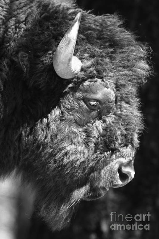 Nature Art Print featuring the photograph Buffalo Portrait by Robert Frederick
