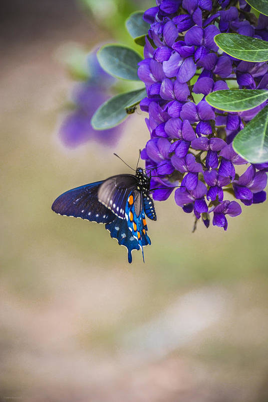 Mountain Laurel Art Print featuring the photograph Butterfly Mountain by Debbie Karnes