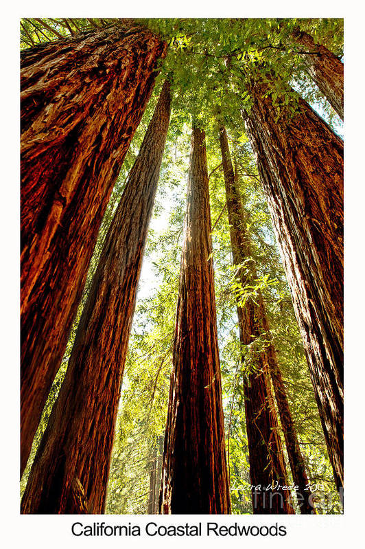 Redwoods Art Print featuring the photograph California Coastal Redwoods by Artist and Photographer Laura Wrede