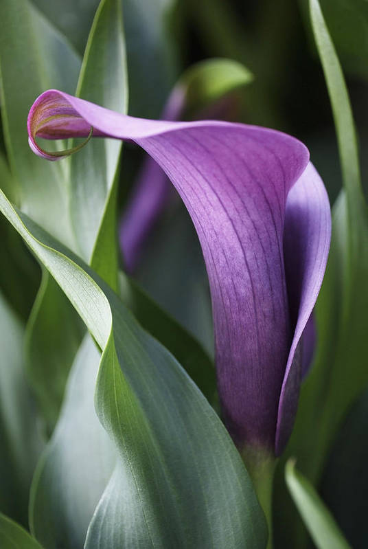Lily Art Print featuring the photograph Calla Lily In Purple Ombre by Rona Black