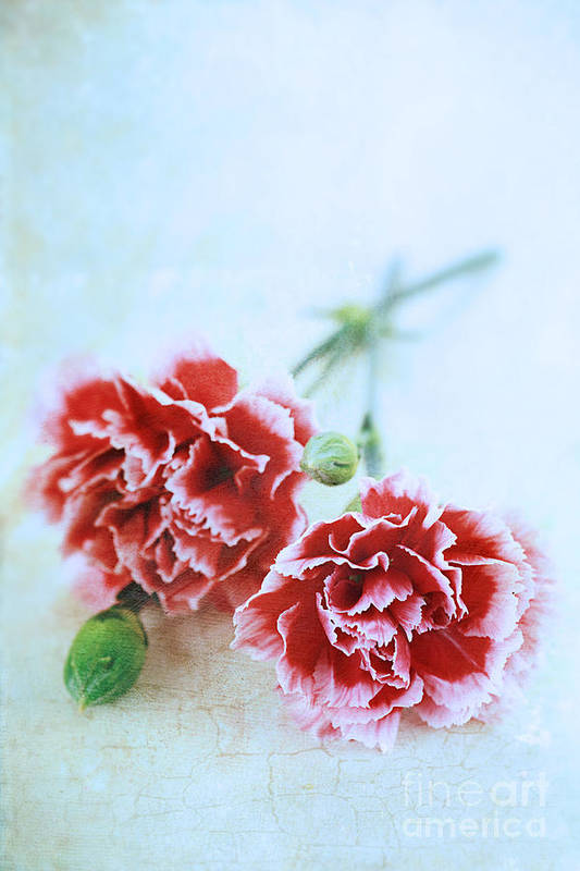Colour Art Print featuring the photograph Carnations by Stephanie Frey