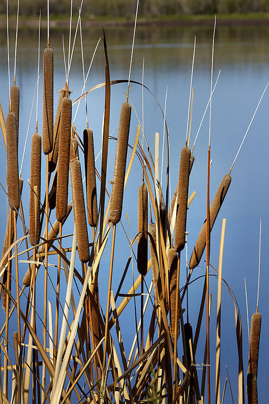 Cat Nine Tails Art Print featuring the photograph Cat Nine Tails by Phyllis Denton