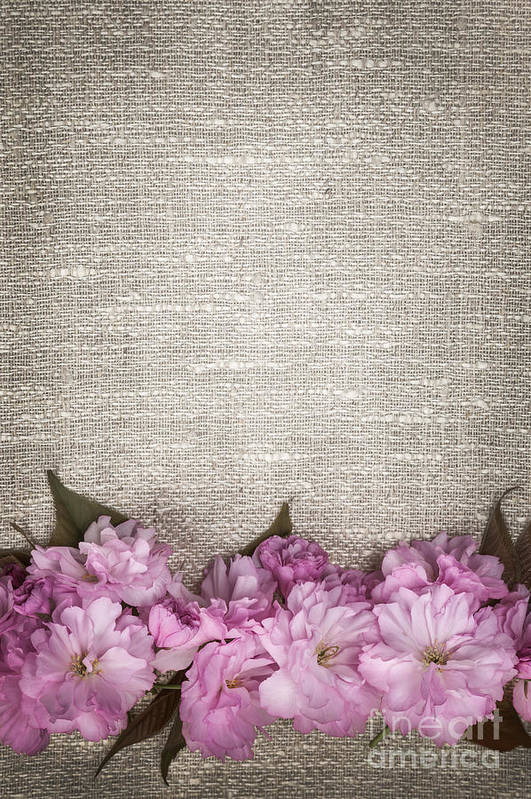 Cherry Blossoms Art Print featuring the photograph Cherry Blossoms On Linen by Elena Elisseeva