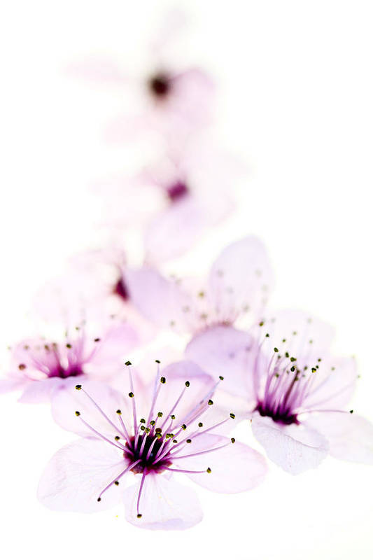 Cherry Blossom Print featuring the photograph Cherry Cascade by Rebecca Cozart