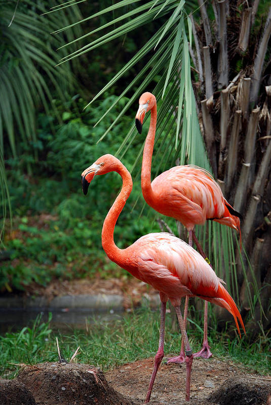 Flamingo Art Print featuring the photograph Code Pink by Skip Willits
