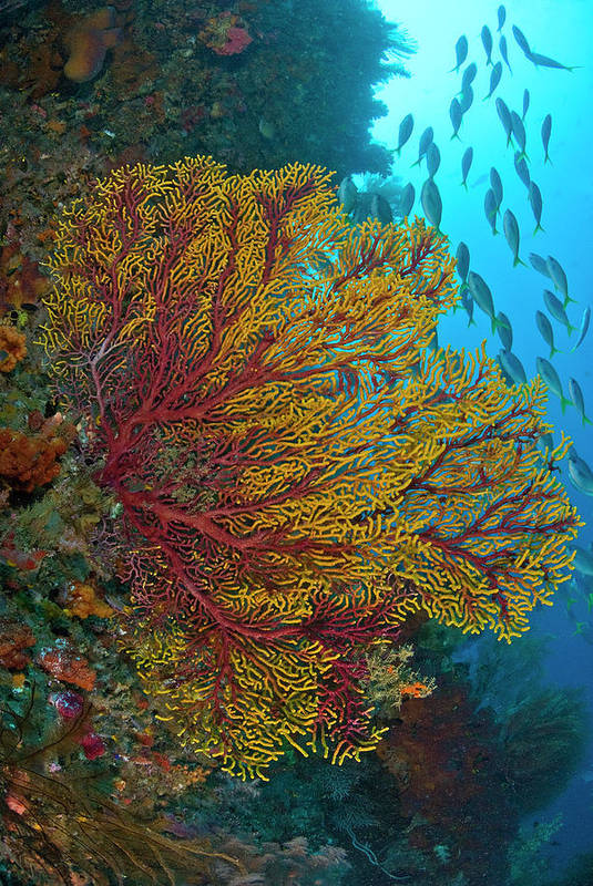 Animals In The Wild Art Print featuring the photograph Colorful Sea Fan Or Gorgonian Coral by Jaynes Gallery