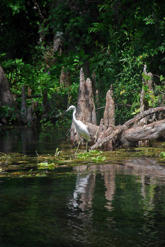 Fl Art Print featuring the photograph Crystal River Egret by Skip Willits