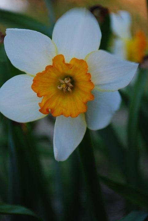 Nature Art Print featuring the photograph Daffodil Close Up by April Rouse
