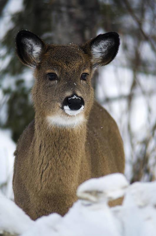 Deer Portrait Art Print featuring the photograph Deer Portrait by Nebojsa Novakovic
