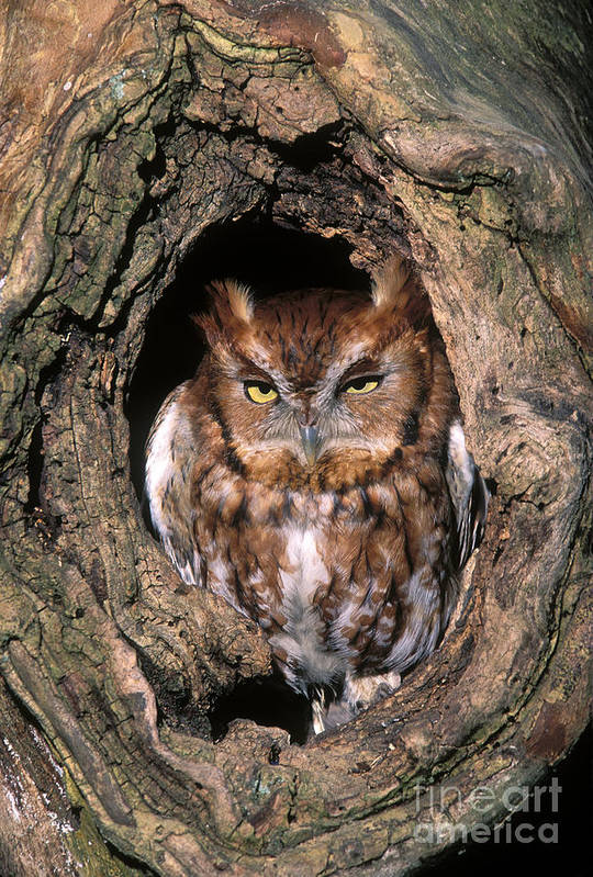 Red Print featuring the photograph Eastern Screech Owl - Fs000810 by Daniel Dempster