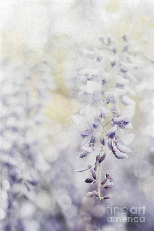 Asian Art Print featuring the photograph Elegant Wisteria by Darren Fisher