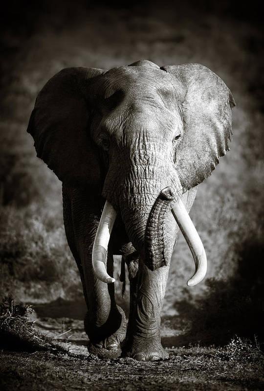 Elephant Bull Art Print By Johan Swanepoel