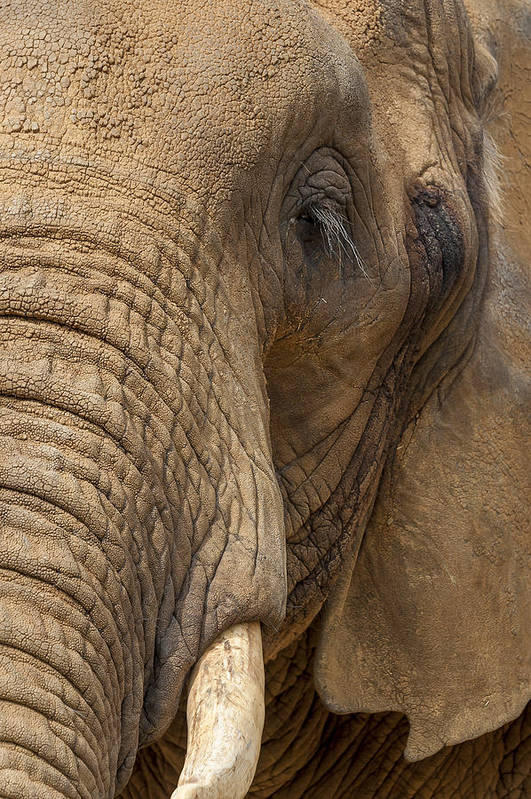 Animal Art Print featuring the photograph Elephant Close Up by Svetlana Sewell