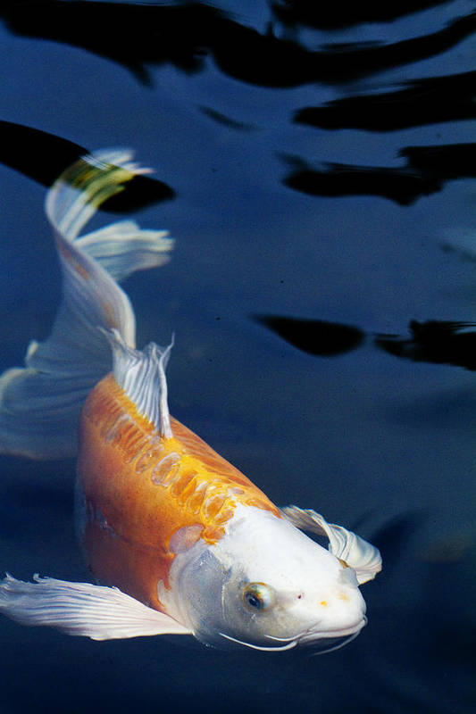 Koi Art Print featuring the photograph Fantail Girl by Rebecca Cozart