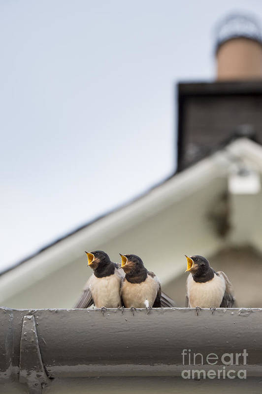Hirundo Rustica Art Print featuring the photograph Feed Me by Tim Gainey