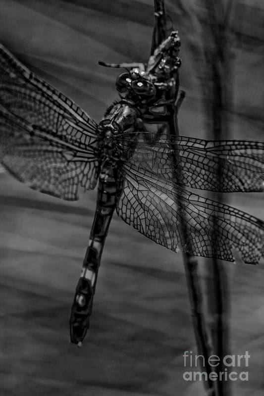 Dragonfly Art Print featuring the photograph Feeding Dragon 2 by Kristy Ollis