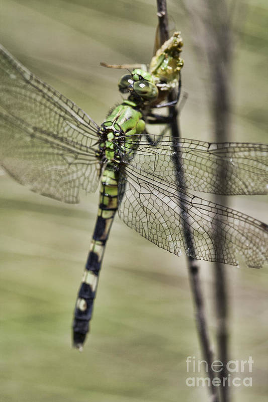 Dragonfly Art Print featuring the photograph Feeding Dragon by Kristy Ollis