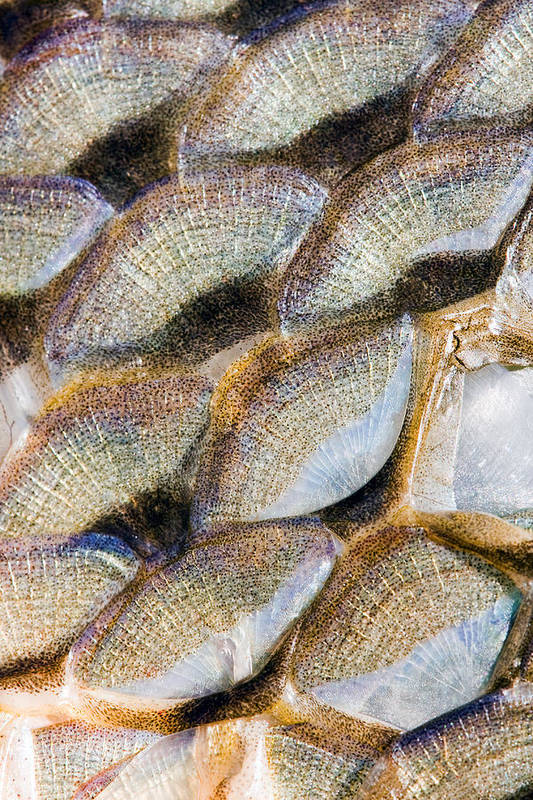 Fish Print featuring the photograph Fish Scales Background by Odon Czintos