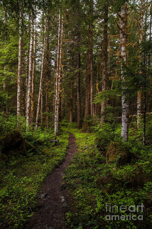 Northwest Art Print featuring the photograph Forest Alder Path by Mike Reid