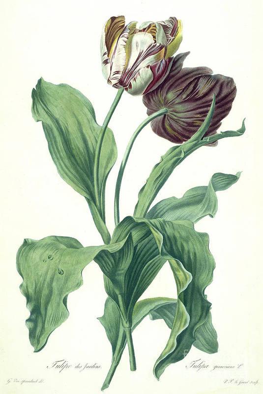 Tulipa Gesneriana Art Print featuring the painting Garden Tulip by Gerard van Spaendonck