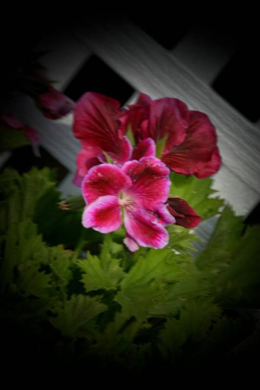 Geranium Art Print featuring the photograph Geranium by Margo Peers