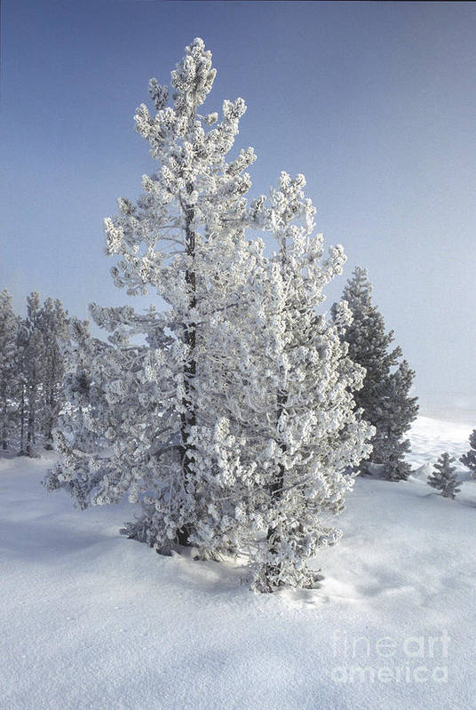 Yellowstone Art Print featuring the photograph Ghost Trees Of Yellowstone by Sandra Bronstein