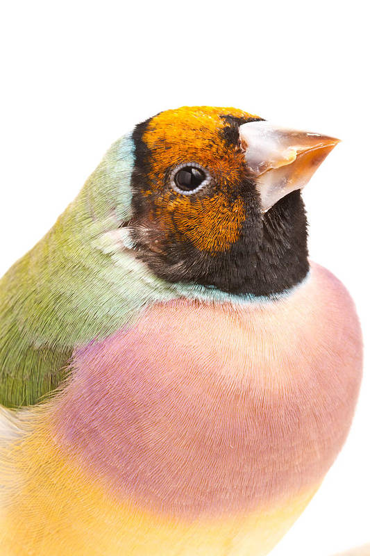 Animal Art Print featuring the photograph Gouldian Finch Erythrura Gouldiae by David Kenny