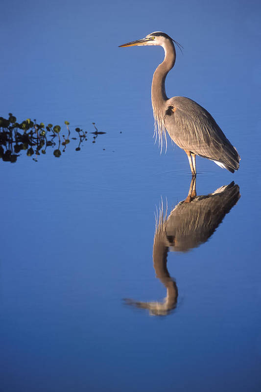 Great Blue Art Print featuring the photograph Great Blue Wading by Patrick M Lynch