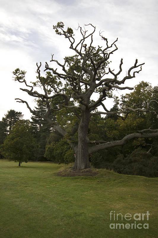 Sentry Oak Art Print featuring the photograph Great Oaks From Little Acorns Grow by Darren Burroughs