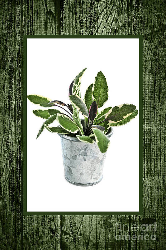 Sage Print featuring the photograph Green Sage Herb In Small Pot by Elena Elisseeva