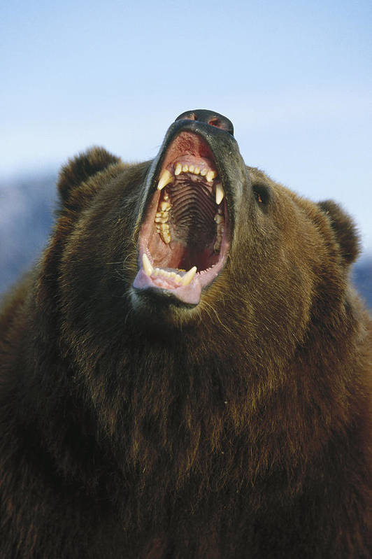 Feb0514 Art Print featuring the photograph Grizzly Bear Close Up Of Growling Face by Konrad Wothe