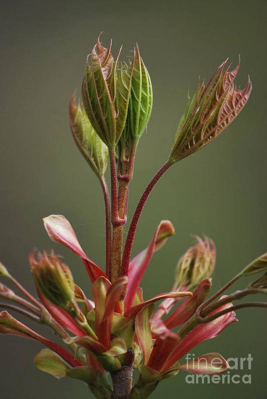 Bud Art Print featuring the photograph Growing by Tim Hauser
