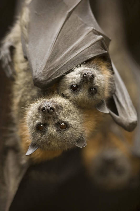 Bats Art Print featuring the photograph Hang In There by Mike Dawson