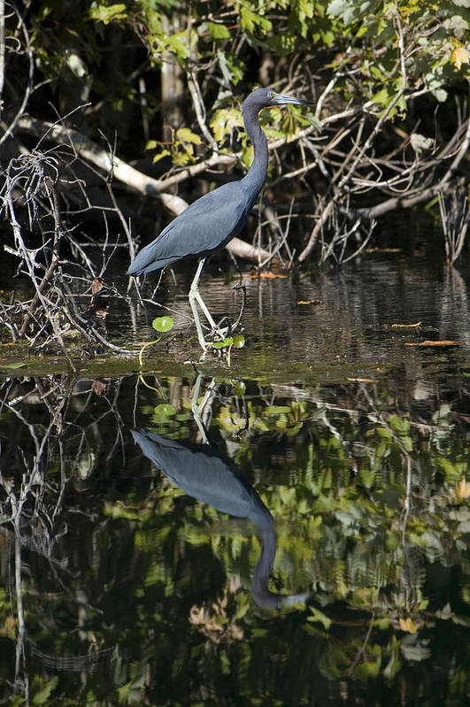 Nature Art Print featuring the photograph Heron Reflection by Ama Arnesen