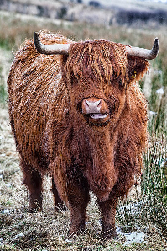 Highland Cow Art Print featuring the photograph Highland Coo by John Farnan