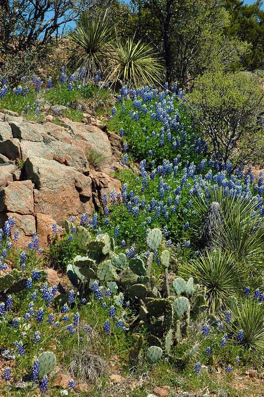 Bluebonnets Art Print featuring the photograph Hillside Blue by Robert Anschutz