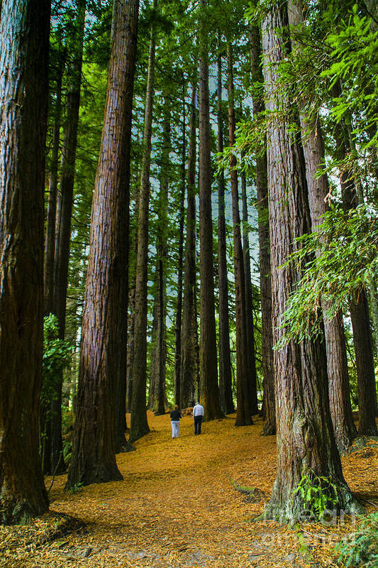 New Zealand Sequoias Trees New Zealand Walking In Forests Art Print featuring the photograph I Don't Walk Alone by Rick Bragan