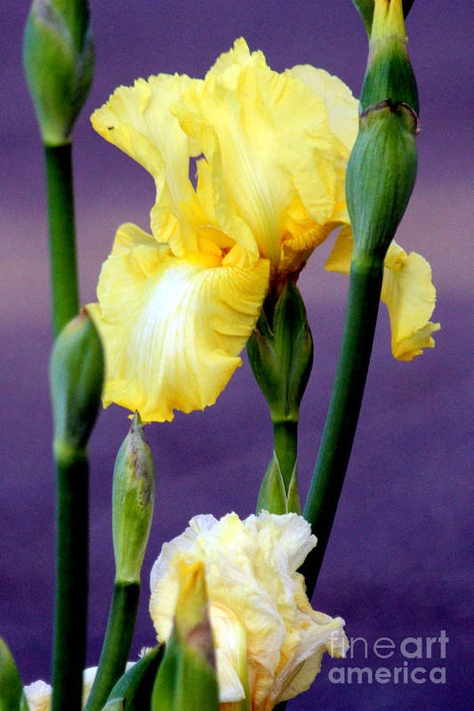 Yellow Bearded Iris Art Print featuring the photograph I Only Have Iris For You by Kathy White